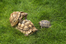 Turtle Mating