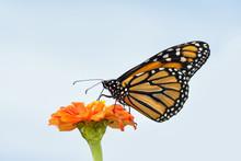 Beautiful Monarch Butterfly Fe...