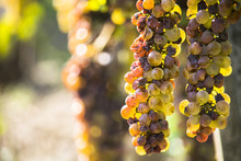 Noble Rot Of A Wine Grape, Bot...