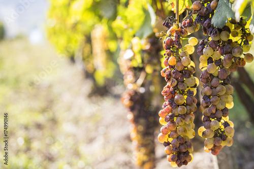 Noble rot of a wine grape, botrytised grapes Fototapet