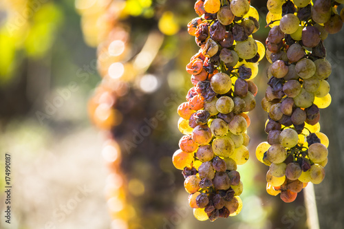 Fotografie, Obraz  Noble rot of a wine grape, botrytised grapes