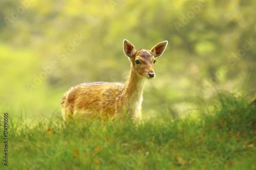 Fallow Deear fawn, walking in sunlight during sunrise Canvas Print