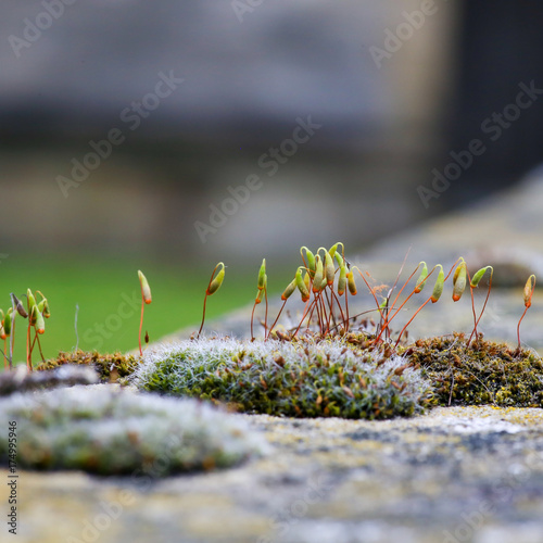 Moss green spore capsules on red stalks on sandstone wall Canvas Print