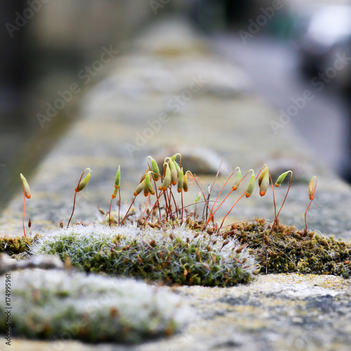 Photo Moss green spore capsules on red stalks on sandstone wall
