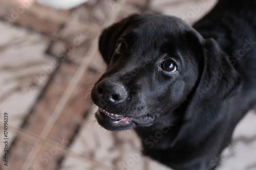 Foto  Labrador-Welpe mit Glitzer im Blick
