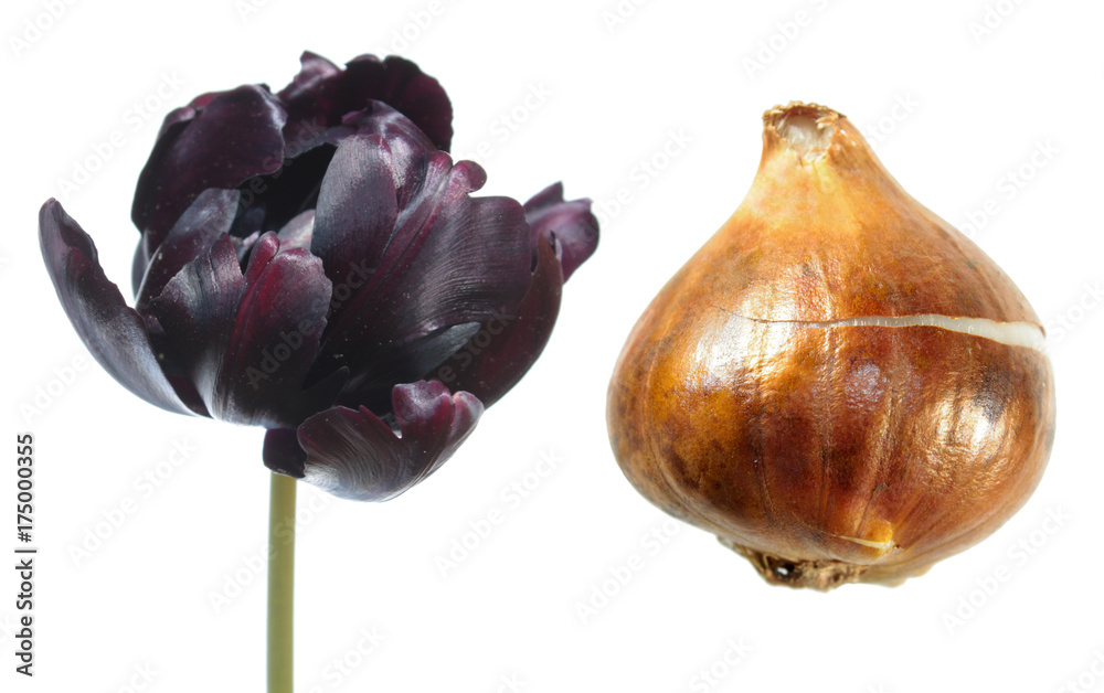 Black Parrot tulip flower with tulip bulb isolated on white background