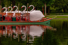 Swans At Rest