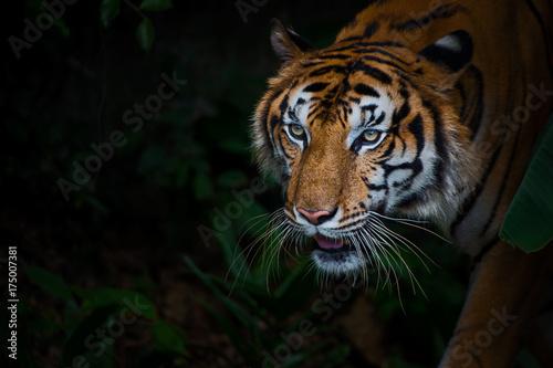 Fototapety, obrazy: Close up tiger.