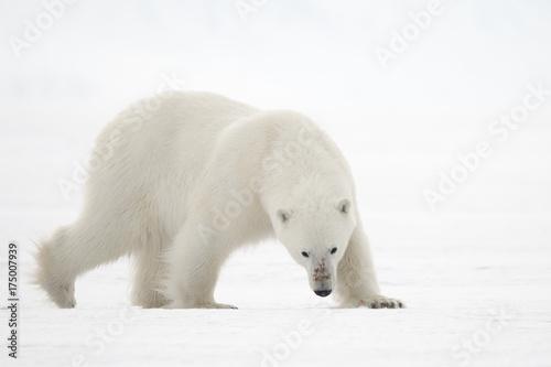 Poster Polar bear The Bear's Stare