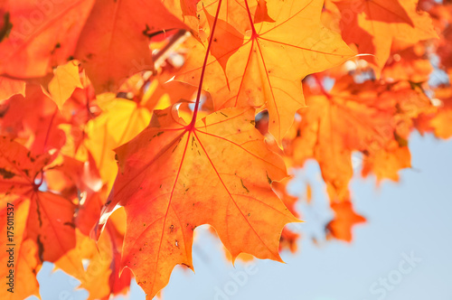 Aluminium Prints Autumn Vibrant color of red oak maple leaves during fall season in Seattle, Washington, USA. Natural backlit light, soft and selective focus with bokeh.