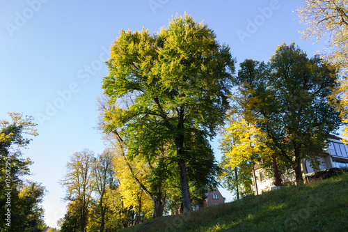 Wall Murals Pistachio trees with yellow color of fall on a sunny day in october at south germany historical city