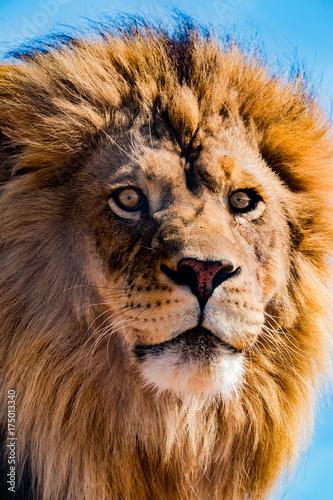 Foto op Plexiglas Leeuw Lion Gaze 4