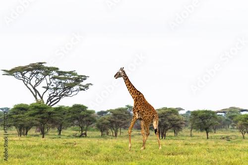 Vászonkép  Maasai giraffe in savanna of Tarangire. Tanzania, Africa