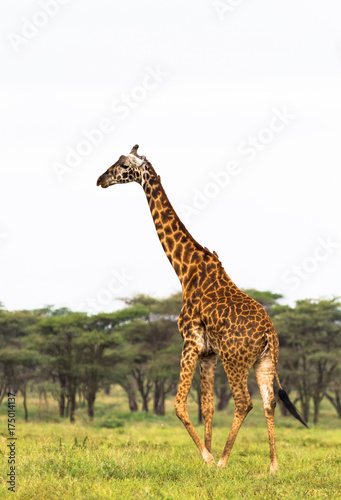 Fényképezés  Very high maasai giraffe. Tanzania, Africa