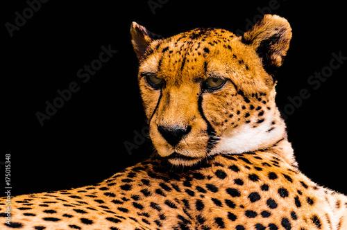 Plakat Portret gepard odizolowywający na czerni