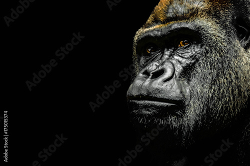 Photo sur Aluminium Singe Portrait of a Gorilla