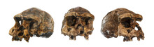 Set Of Homo Erectus Skull . Discovered In 1969 In Sangiran , Java , Indonesia . Dated To 1 Million Years Ago . ( Front . Side . Oblique View )