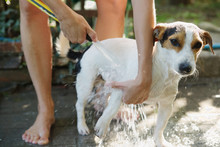 Crop Girl Bathing Jack Russel Terrier In Backyard With Garden Hose.