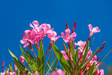 Nerium Oleander Flowers On A B...