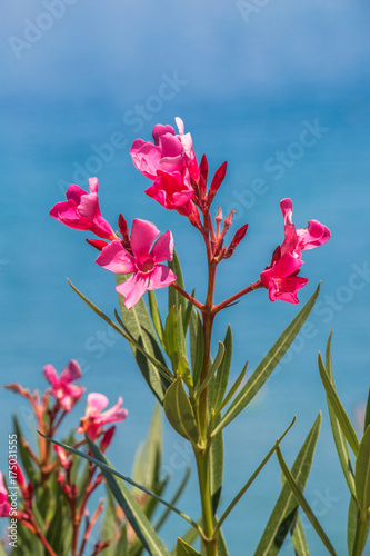 nerium oleander flowers on a blue sky background buy this stock