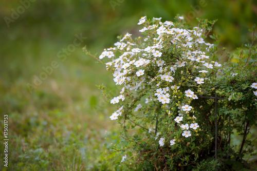 Fotografía  Shrubby Cinquefoil , cultivar with white flowers - Dasiphora fruticosa , Pentaph