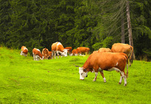Cows Grazing In A Mountain Mea...
