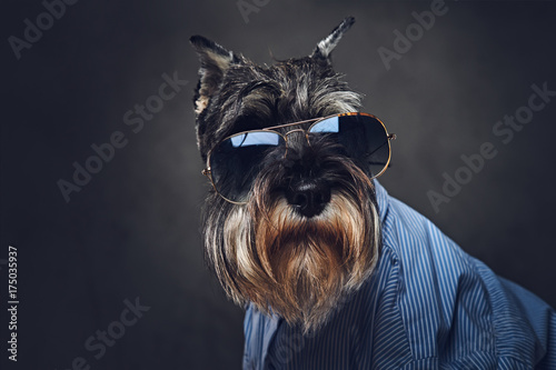 A dogs dressed in a blue shirt and sunglasses. Wallpaper Mural