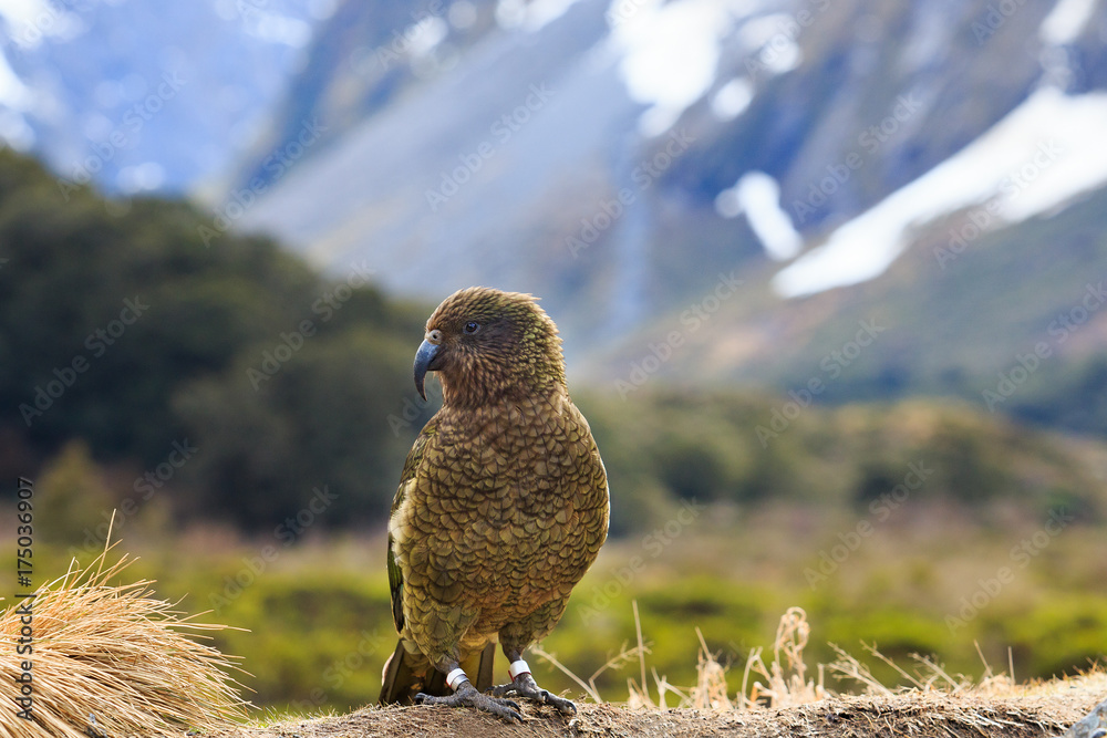 kea bird in alpine forest south land new zealand