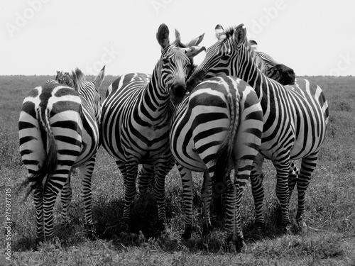 przyjacielskie-zebry