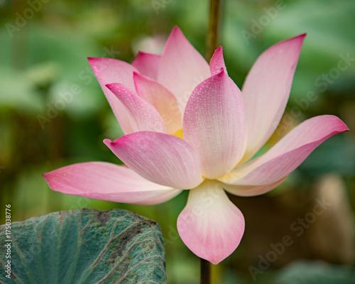 Staande foto Lotusbloem lotus flower pink nature blossom water background beautiful