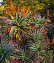 Aloes,  Groenkloof.