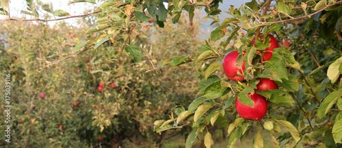 Plakat dojrzałe jabłka w sadzie gotowe do zbioru