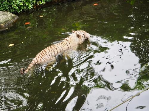 Plakat biały tygrys w wodzie
