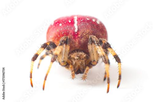 Plakat Czerwony Pająk. Duży czerwony pająk z białą plamką na ciele. Pojedynczo na białym tle