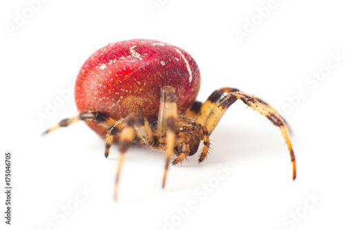 Plakat Wielki czerwony pająk z białego koloru drobiną na ciele odizolowywającym na białym tle
