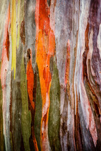 Abstract Background Pattern Of Colorful Old Eucalyptus Deglupta Tree Bark
