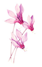 Watercolor Pink Cyclamen Flower