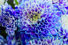 Fresh Blue Chrysanthemum Flowe...