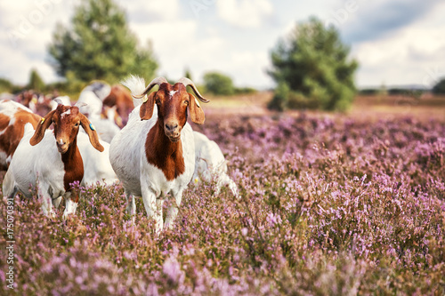 Goats in Lüneburg Heath, Germany