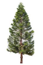 Norfolk Pine Or Araucaria Pine...