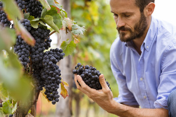 Man in the vineyards picking vine grapes