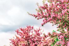 Vibrant Vivid Pink Cherry Blos...