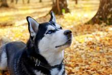Dog Breed Siberian Husky In Au...
