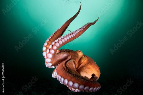 оctopus in the deep ocean