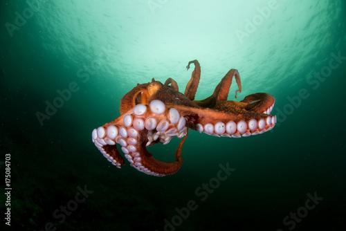 Fototapeta  оctopus in the deep ocean