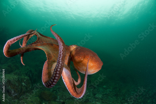 Fotografie, Obraz  оctopus in the deep ocean