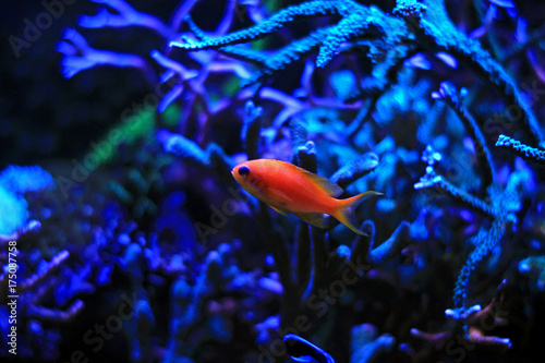 Photo  Anthias saltwater aquarium fish