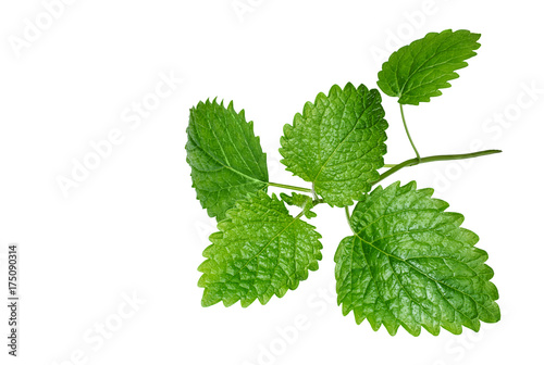 Fresh melissa leaves on white background