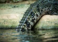 Crocodile Tail Closeup Detail