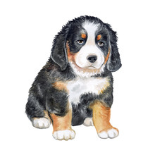 Bernese Mountain Dog. Puppy Is...